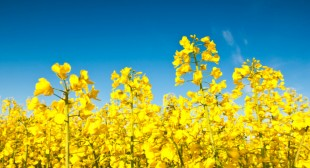 The Health Benefits of Canola Oil